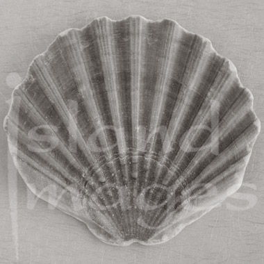 Sepia Shell Photography